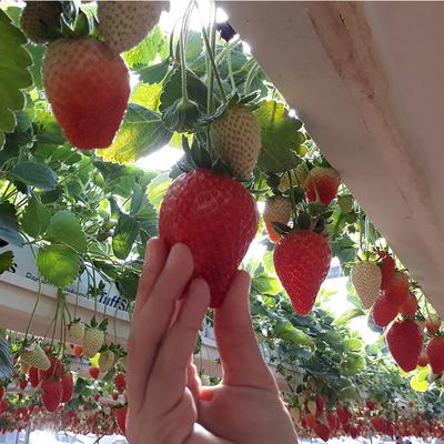 塔莎的花园 草莓盆栽植物草莓果树种植带土带盆四季室内草莓苗