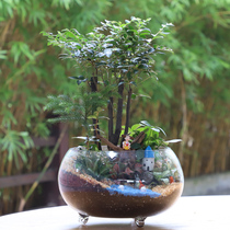 Black Bone tea eco-cylinder micro landscape green planting Bonsai living room office inner courtyard balcony purifying air plants