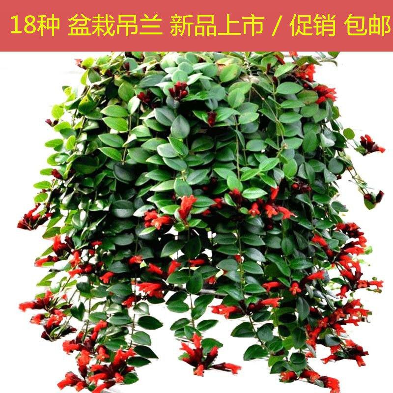 吊兰植物常春藤绿萝盆栽金鱼口红金心吊兰办公室内绿植净化空气