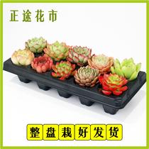 多肉植物新款组合盆栽肉肉植物一整箱含盆带土种好发货包邮