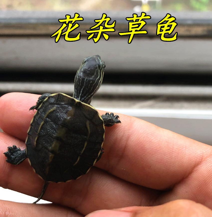 花杂草活体龟花草杂苗宠物龟花龟杂交草龟外塘小乌龟包邮满1.80元可用1元优惠券