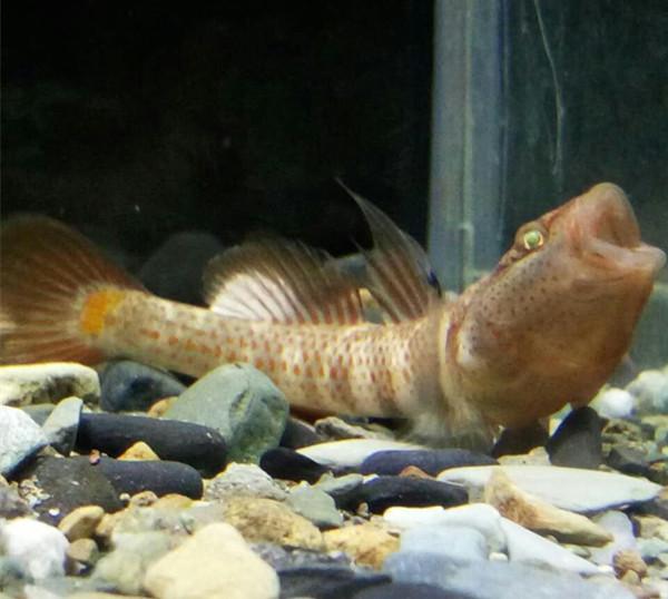 Первобытный рыба холодная вода рыба креветка тигр рыба военный праведность поцелуй креветка тигр чжэцзян красный семена высокий парус военный праведность