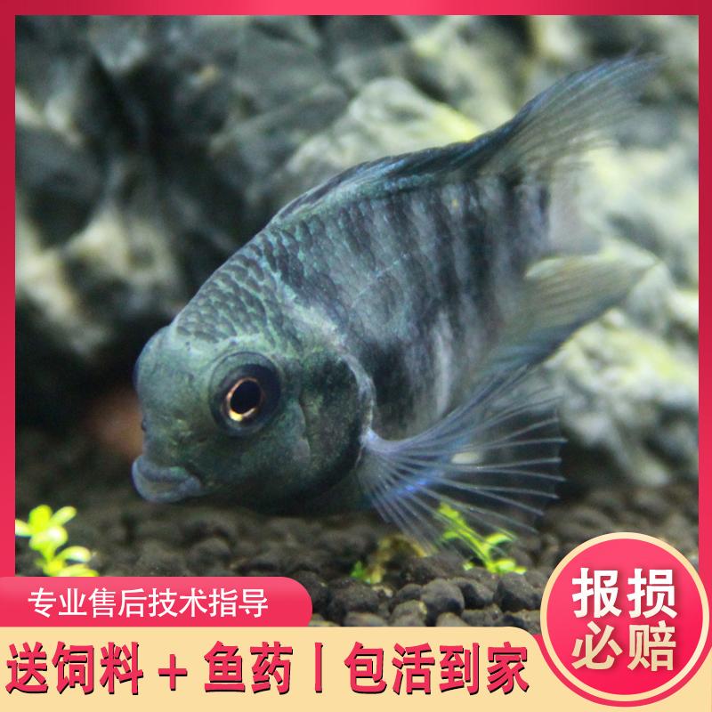 白金迷你鹦鹉鱼短鲷鱼观赏鱼蓝金刚淡水鱼稀有品种宝蓝鹦鹉活体