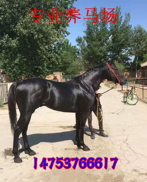 Для взрослых поездка множественный лошадь продавать живая тело поездка множественный лошадь вид площадь использование лошадь случайный развлечения использование лошадь высокий поездка множественный лошадь