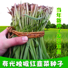 Single root red Shouguang vegetable seed purple Root Snow leek red snow leek seedling seed vegetable seed four seasons leek root balcony spring and autumn lonely