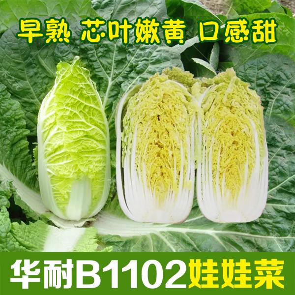 华耐B1102娃娃菜种孑小白菜种籽春秋四季蔬菜子菜种现在种青菜冬