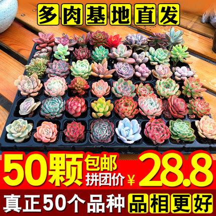 多肉植物肉肉植物组合小花卉盆栽论斤卖室内多肉套餐多肉植物新款