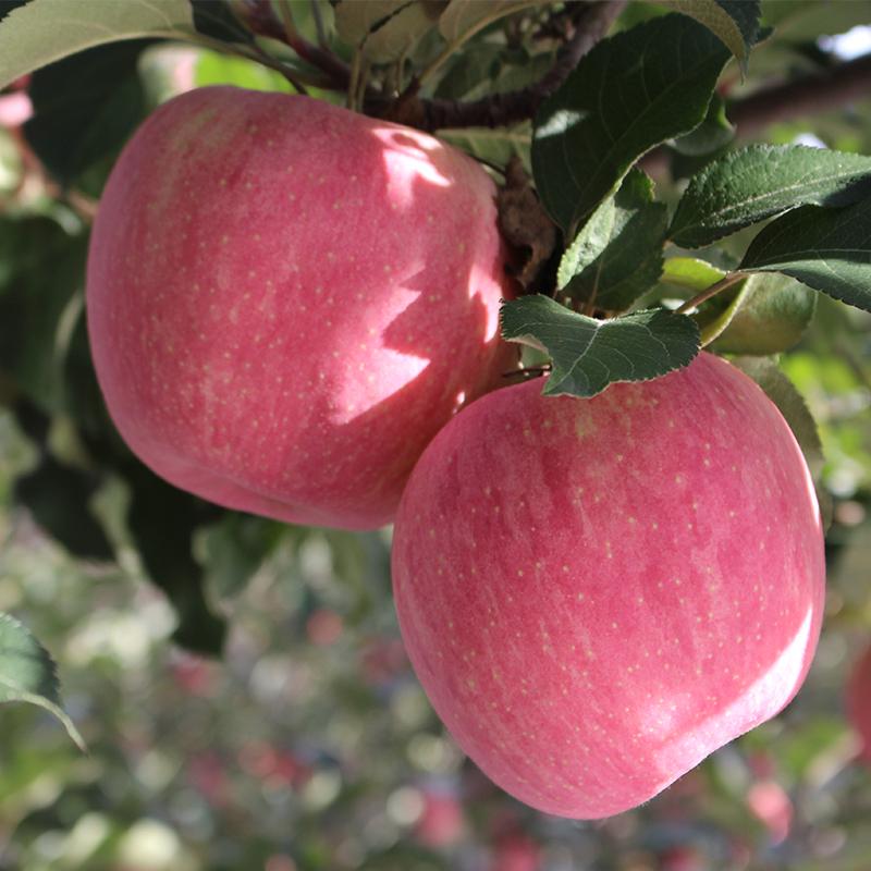Gansu Qingyang apple fruit eat red Fuji 5 kg rock sugar heart is crispy and sweet than Yantai, Shaanxi, and fresh