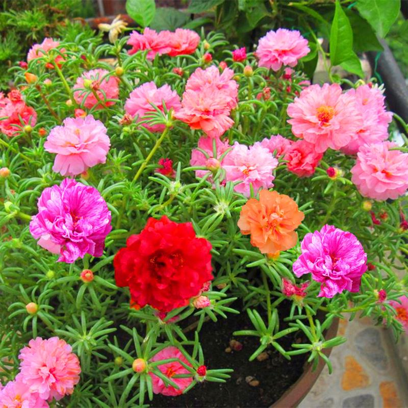 太陽の花の種の松葉牡丹の混じる色の大きい花の種のスベリヒユのベランダ四季植えやすい鉢植えの野の花の組み合わせ
