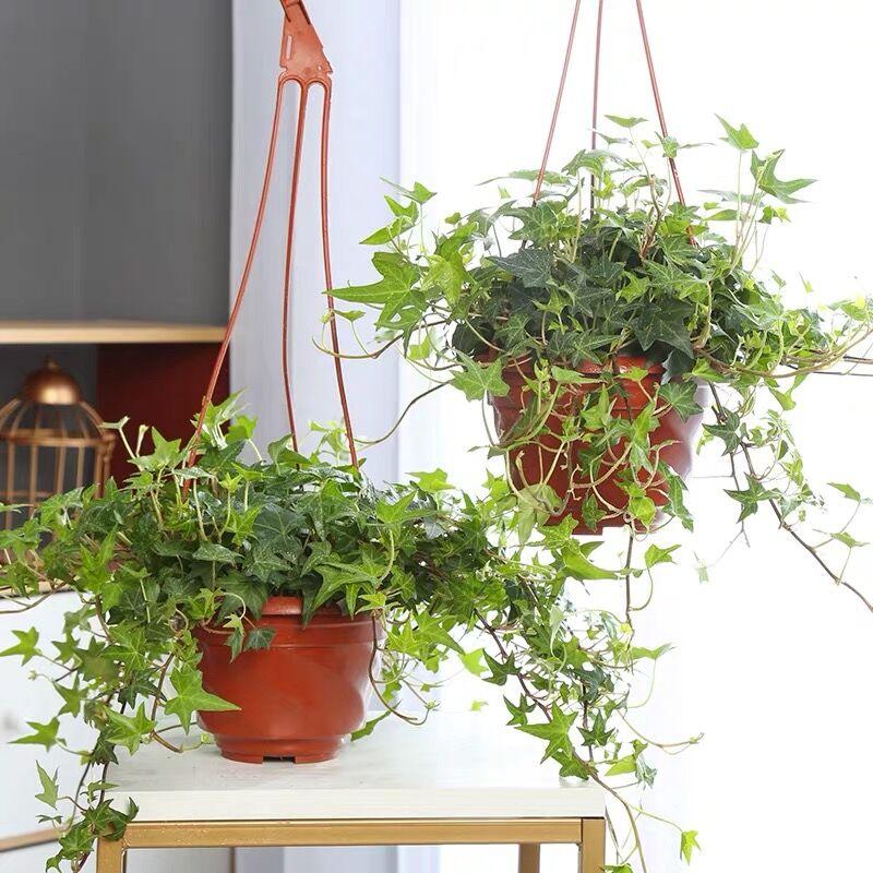 常春藤盆栽室内垂吊兰植物吸去除甲醛净化空气四季常青长青藤绿植