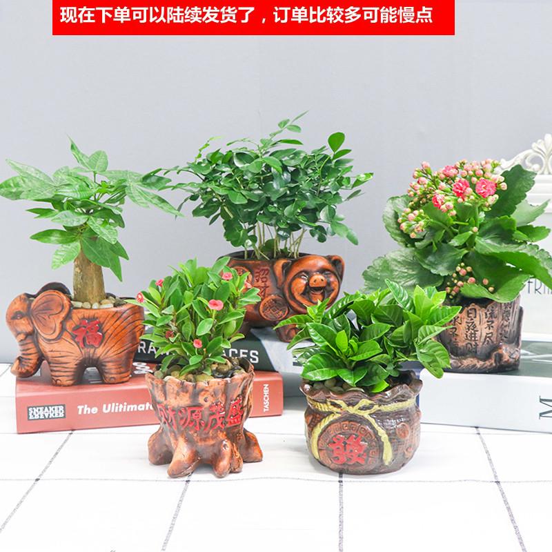 发财树盆栽花卉栀子花植物绿萝富贵竹文竹客厅办公室内绿植小盆景