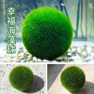 marimo淡水球藻创意迷你水生植物