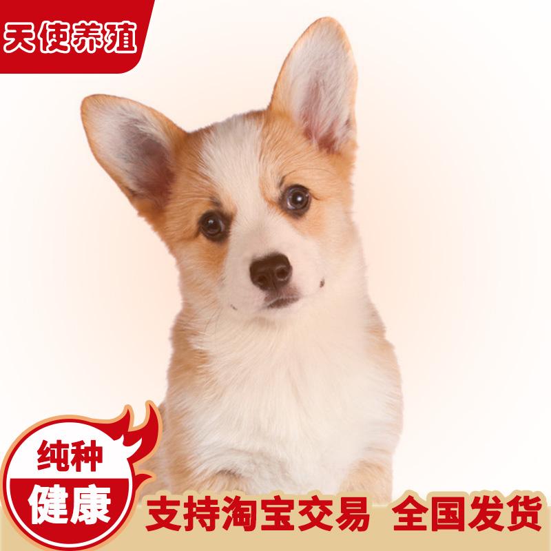 柯基犬纯种幼犬活体中型威尔士小短腿狗狗三色黄白宠物狗包健康