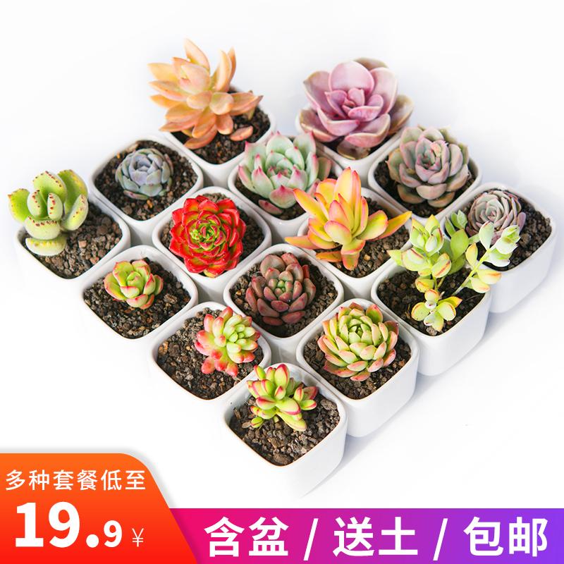 新款多肉植物新手套餐室内超萌肉肉植物花卉含盆带土绿植组合盆栽
