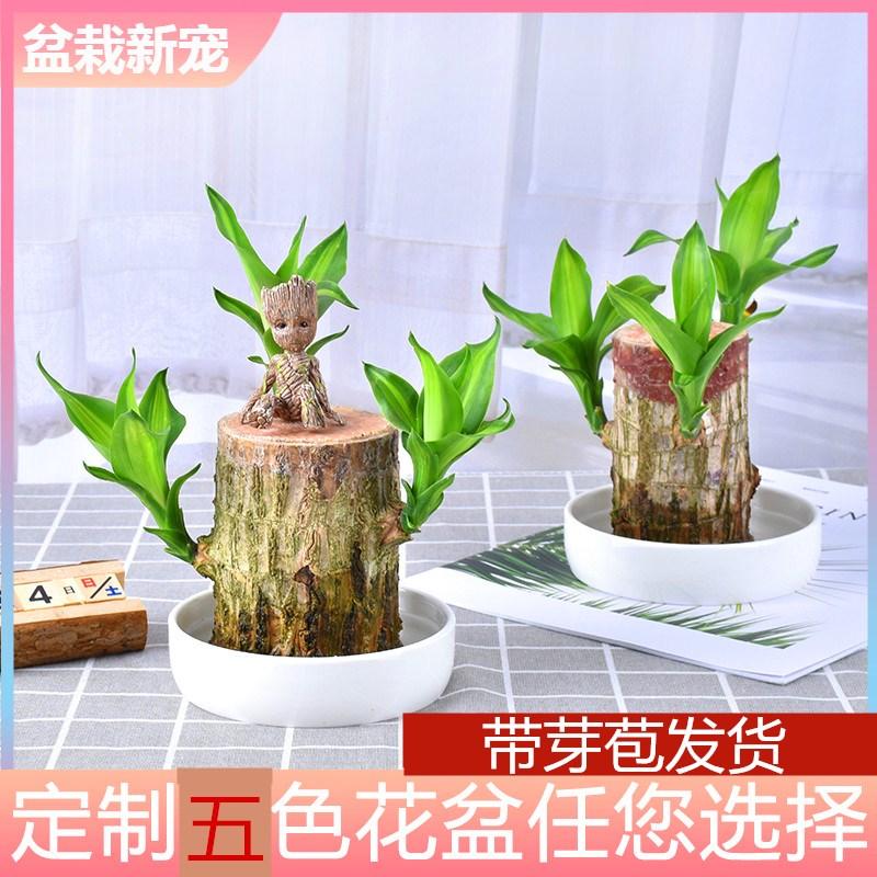 巴西木盆栽水养迷你室内桌面绿植四季常青幸运木格鲁特水培植物 ¥9.9元