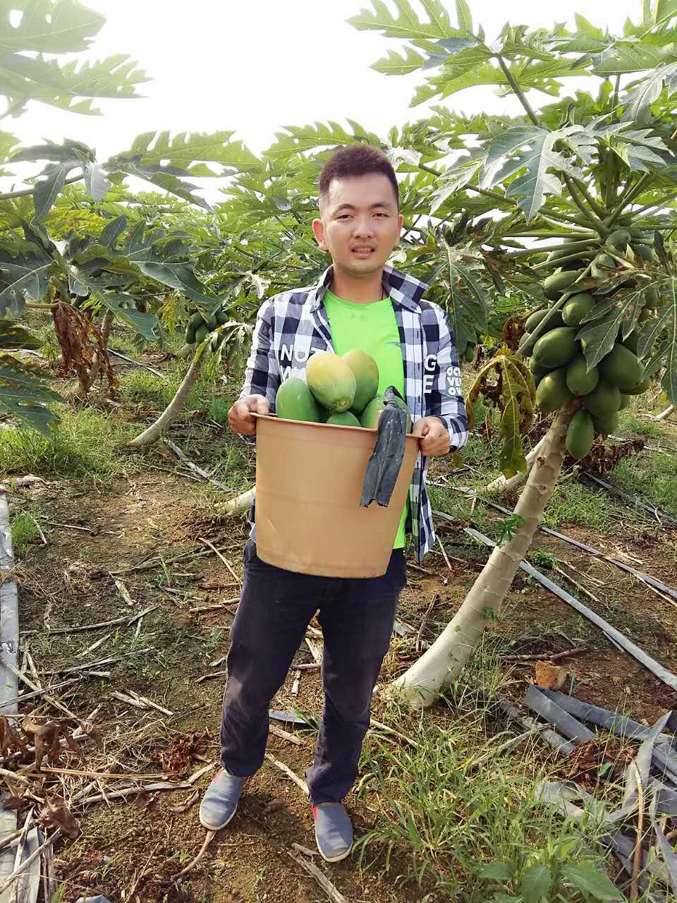 海南三亚 红心有机木瓜 新鲜水果木瓜采摘 木瓜 5斤 包邮空运