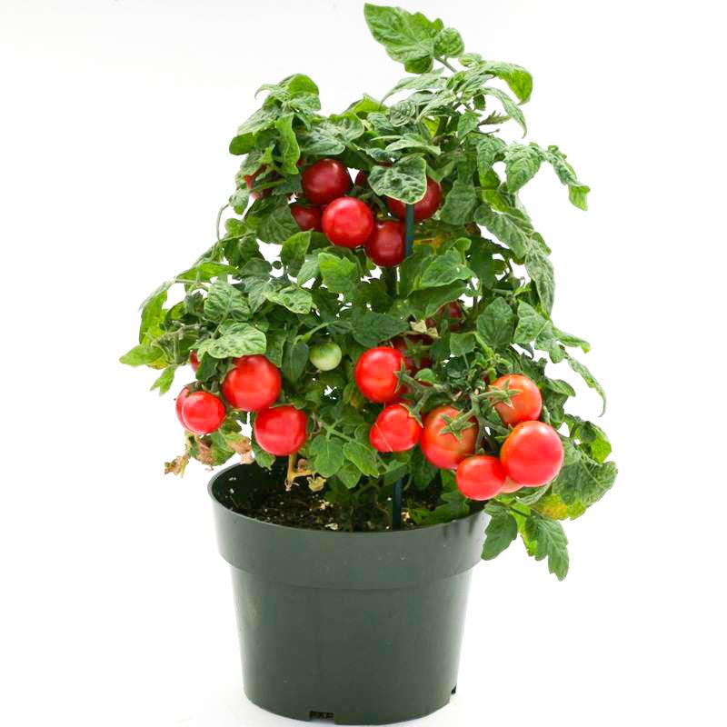 矮生盆栽樱桃小番茄种子 圣女果西红柿苗 阳台四季蔬菜种子包邮