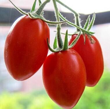 【晓明食材】新鲜小番茄 圣女果 蔬菜水果沙拉400g