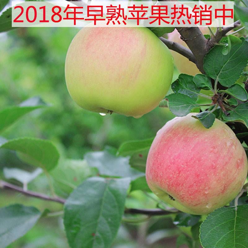 2018新鲜灵宝现摘藤木青苹果早熟脆甜非富士秦冠水果孕妇5斤包邮