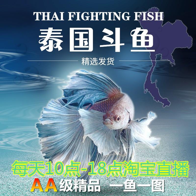 泰国斗鱼活鱼包邮巨斗半月暹罗展示级大斗练手鱼热带鱼观赏鱼活体