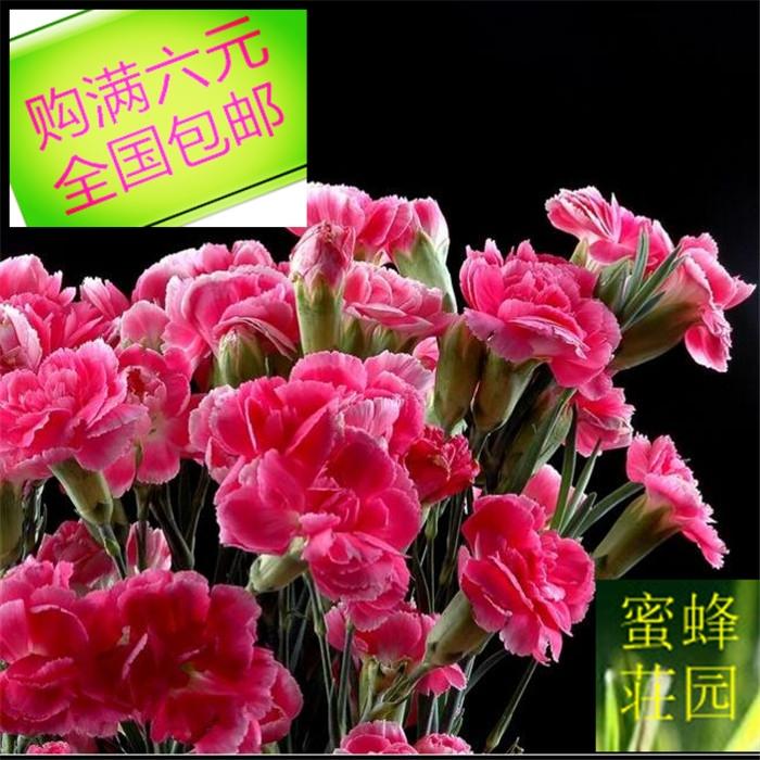 康乃馨种子狮头石竹种子麝香送母亲的花大花石竹约100粒