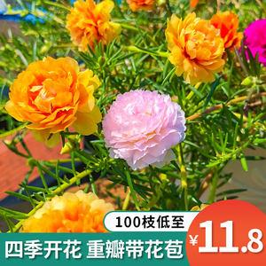 重瓣太阳花盆栽花苗枝条混色大花带根带花苞绿植室内盆栽四季开花