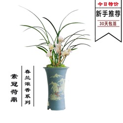 兰花苗盆栽素冠荷鼎春兰浓香四季兰室内客厅绿植盆栽植物花卉包邮