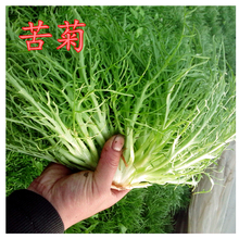 Yellow heart, fine leaf, chicory seed, loose leaf, kuju seed, garden balcony, potted vegetable, milk vegetable, four seasons sowing, package and mail