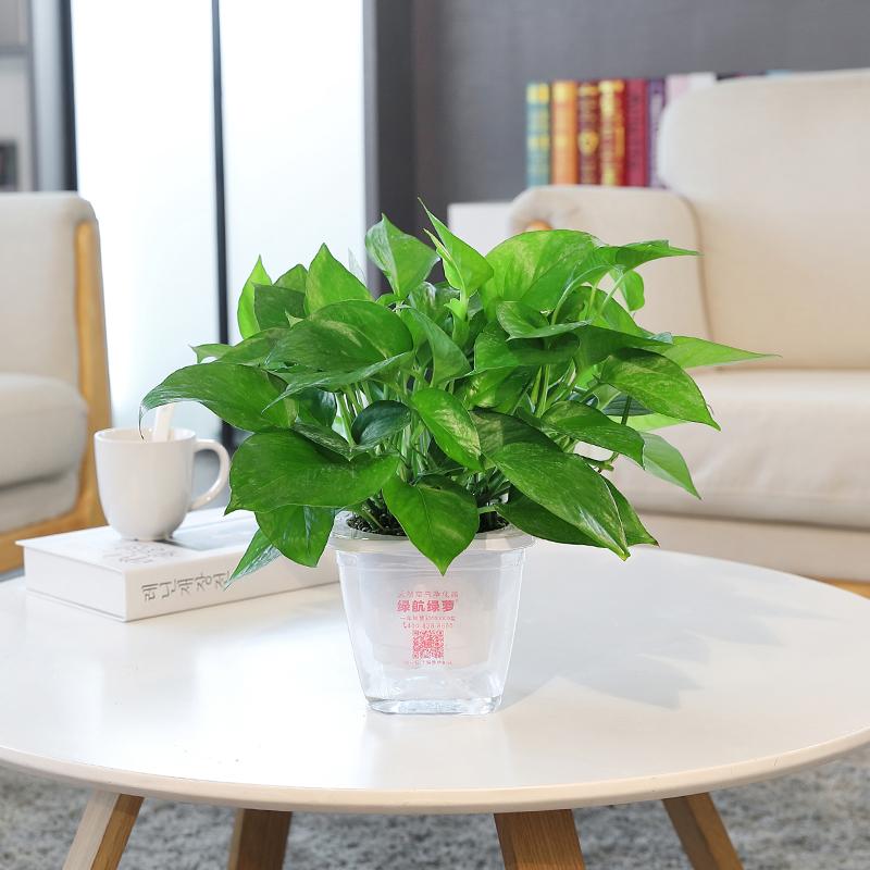 绿航绿萝小盆栽卧室净化空气室内水培植物吸甲醛花卉大叶绿箩