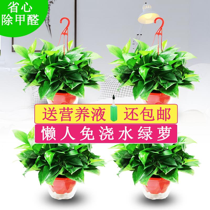 水培绿萝红色盆栽常青观叶花卉植物新房卧室吸除甲醛净化空气绿箩