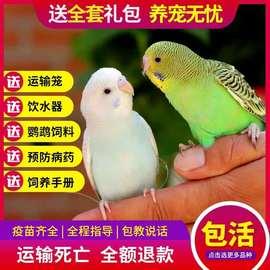 鸟活体虎皮鹦鹉活鸟大型会说话的宠物鸟活物手养玄凤幼鸟小鸟活体图片