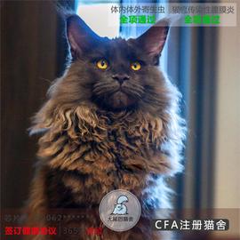 俄罗斯缅因猫活体宠物猫活物幼猫大型猫咪巨型挪威森林猫北京猫舍图片