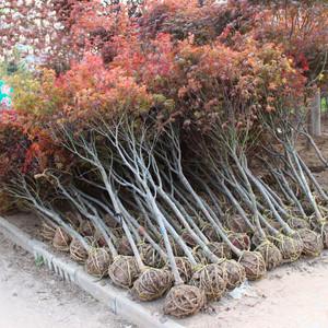 中国红枫 日本红枫 美国红枫树苗园林绿化南北方别墅庭院地栽种植