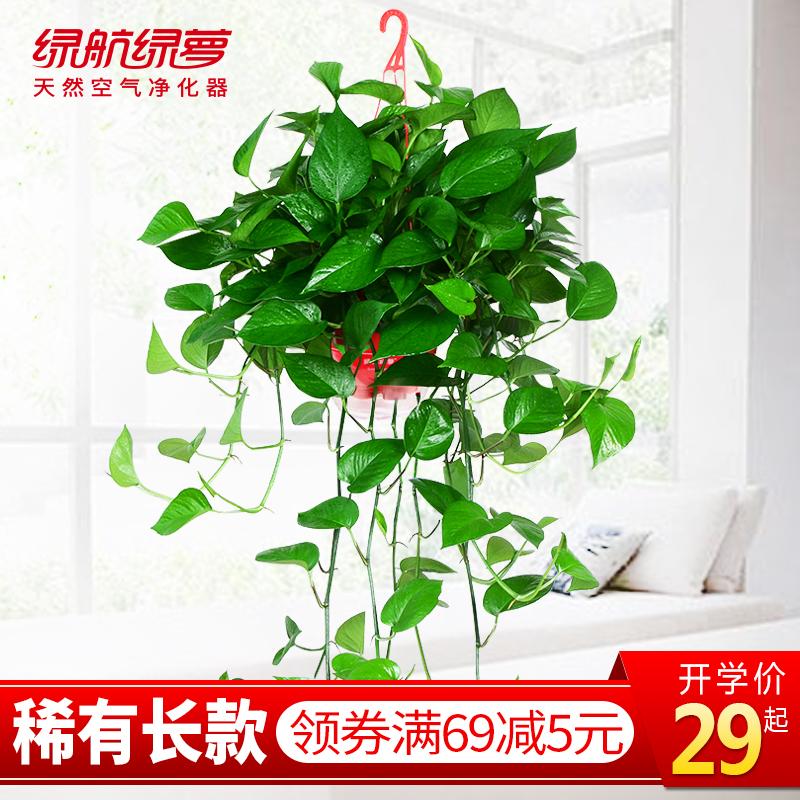 绿航绿萝花卉盆栽绿植物室内客厅净化空气吸甲醛大盆绿箩长藤吊兰