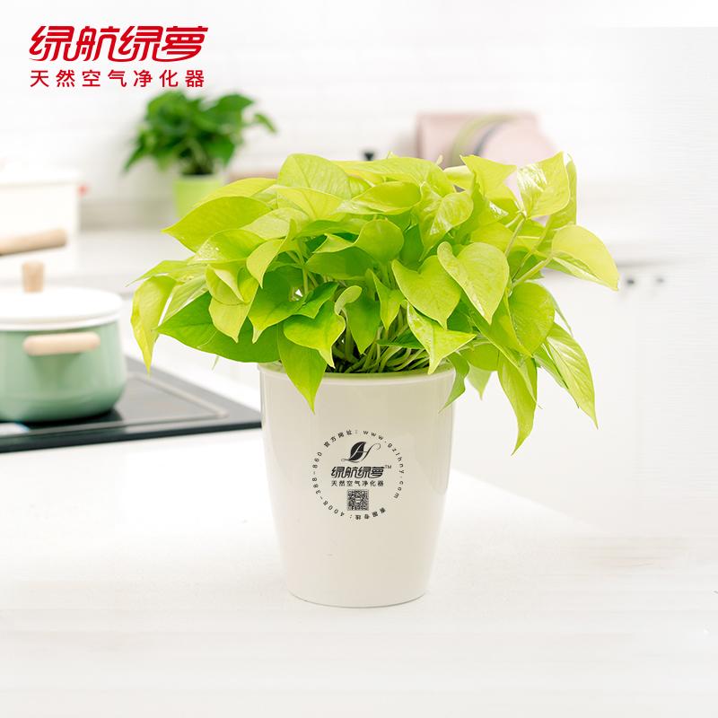 绿航绿萝盆栽植物室内客厅大水培好养四季常青净化空气黄金葛绿箩