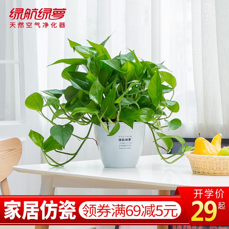 绿航绿萝盆栽植物室内四季常青水培吸甲醛净化空气绿带盆花卉绿植