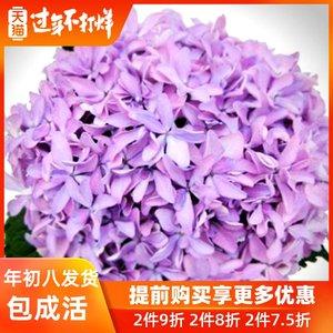 紫阳花卉绿植 灵感 八仙绣球花苗 盆栽地栽耐寒 阳台庭院八仙花
