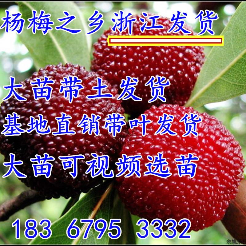 浙江嫁接东魁杨梅树苗耐寒南方北方种植果树苗当年杨梅苗
