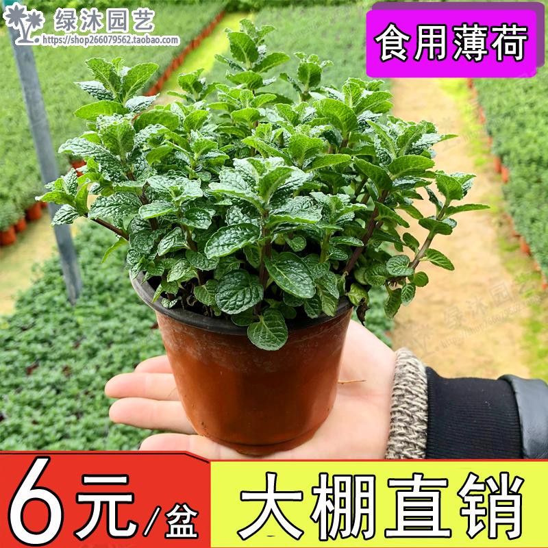 薄荷盆栽可食用新鲜水培薄荷苗办公室内绿植迷迭香驱蚊草驱蚊植物