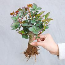 月季花苗玫瑰花老桩老根四季盆栽室内开花不断大花浓香室外特大花