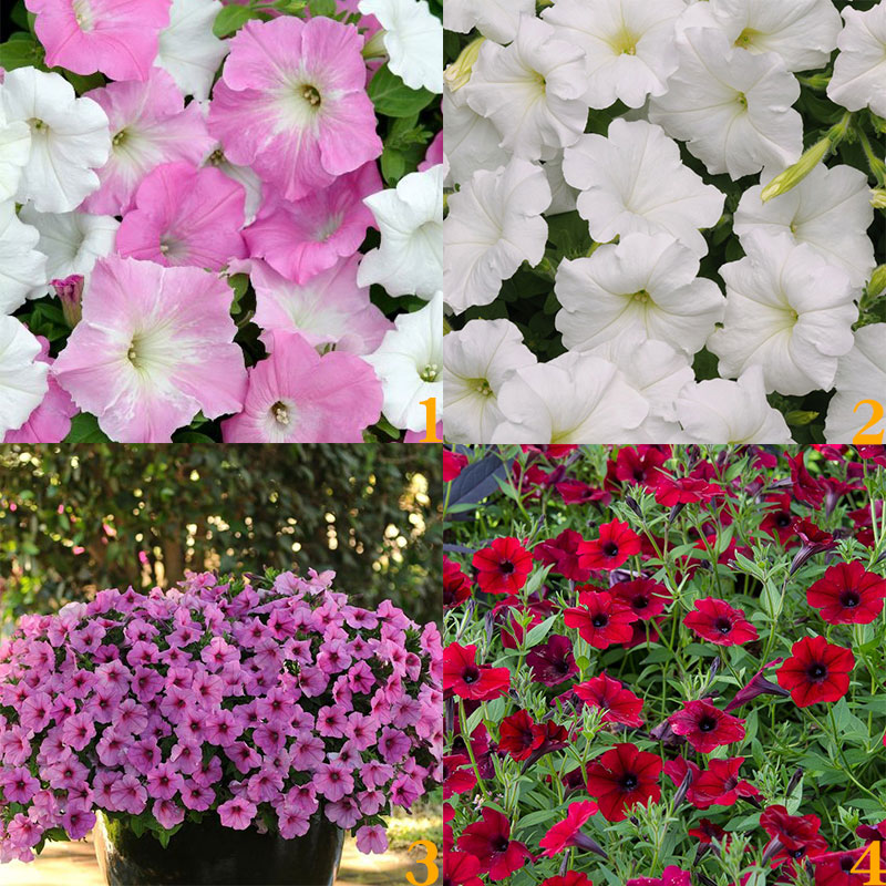 美国泛美原装进口轻浪垂吊矮牵牛种子花卉阳台庭院耐热景观盆栽