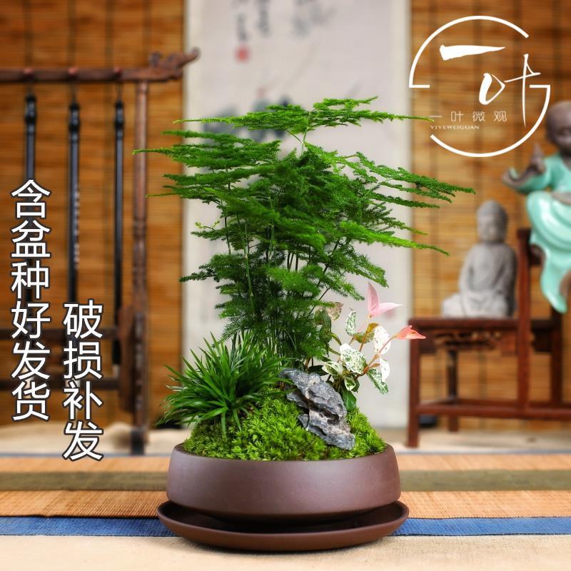 小盆栽竹子室内花卉矮生小 文竹绿植物盆景云竹茶桌摆件花盆微景