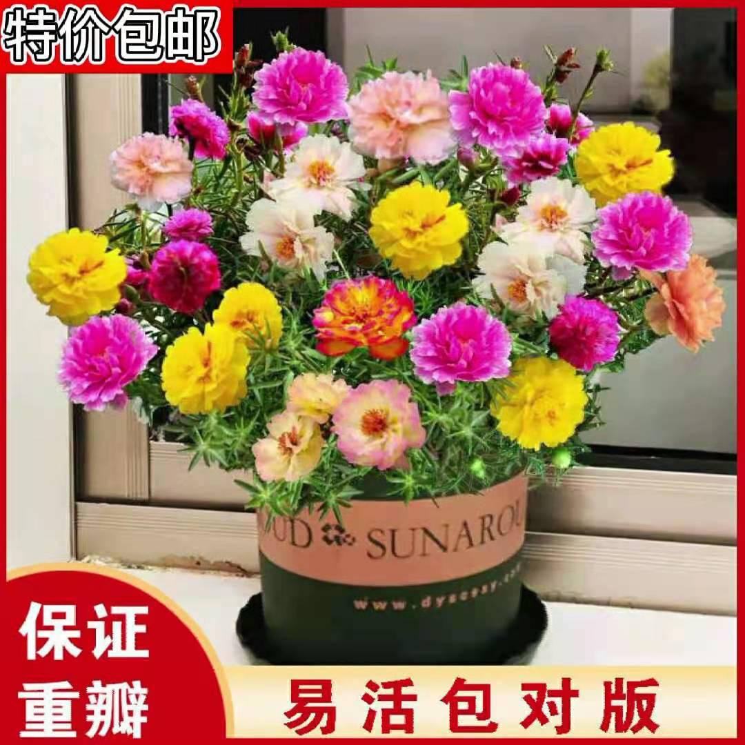 重瓣太阳花苗四季生阳台庭院花卉混色宿根盆栽带花苞又名松叶牡丹