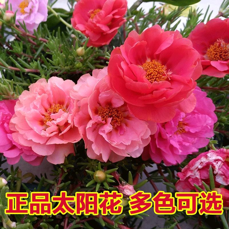 太阳花盆栽净化空气绿植室内花卉春季花苗植物美观趣味盆栽草本花