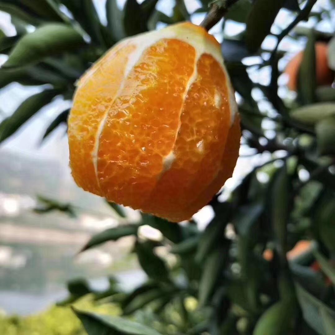 为湖北加油  湖北秭归伦晚脐橙 香甜水润 新疆西藏青海海南不发