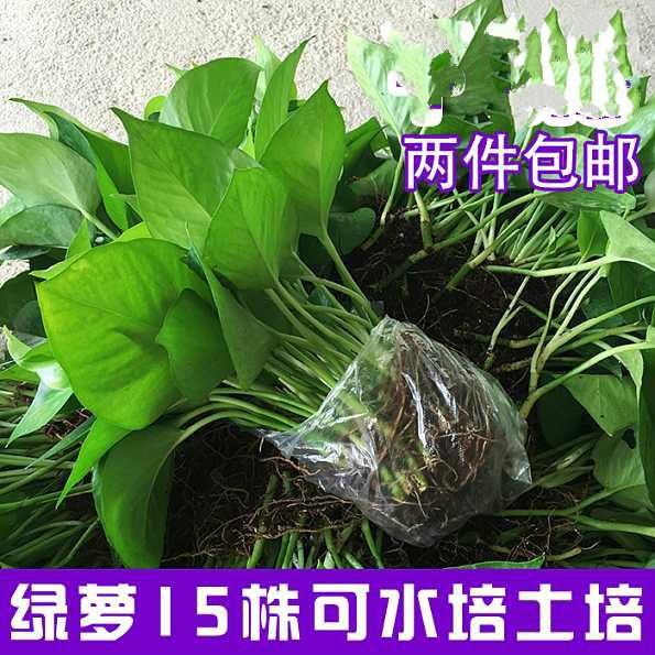 绿萝水培土培散苗办公室新房吸除甲醛绿箩植物盆栽吊兰花卉包邮