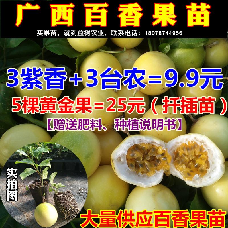 黄金果苗巨无霸百香果苗广西紫香果树苗四季爬藤南方种植当年结果