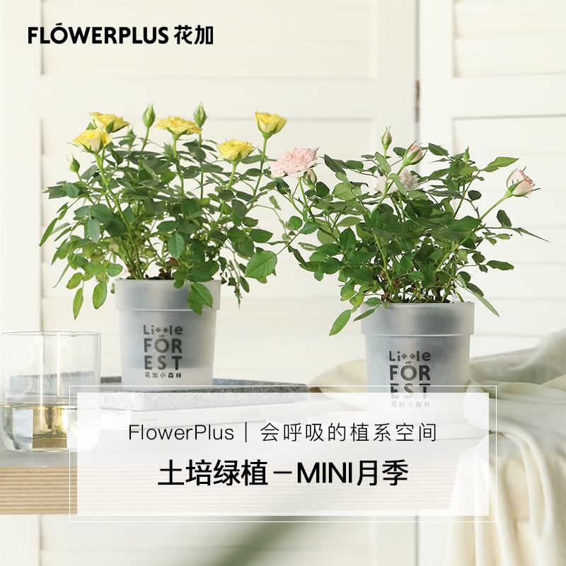 Flowerplus花加系列土培月季可开花杜鹃花绿植盆栽清新空气包邮