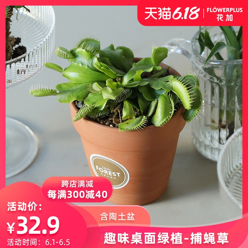 Flowerplus花加稀有土培夏季捕蝇草桌面绿植盆栽实用办公室客厅