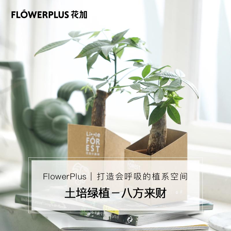 Flowerplus花加土培发财树竹芋小绿植净化空气ins桌面植物包邮